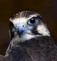 Portrait_of_a_kestrel