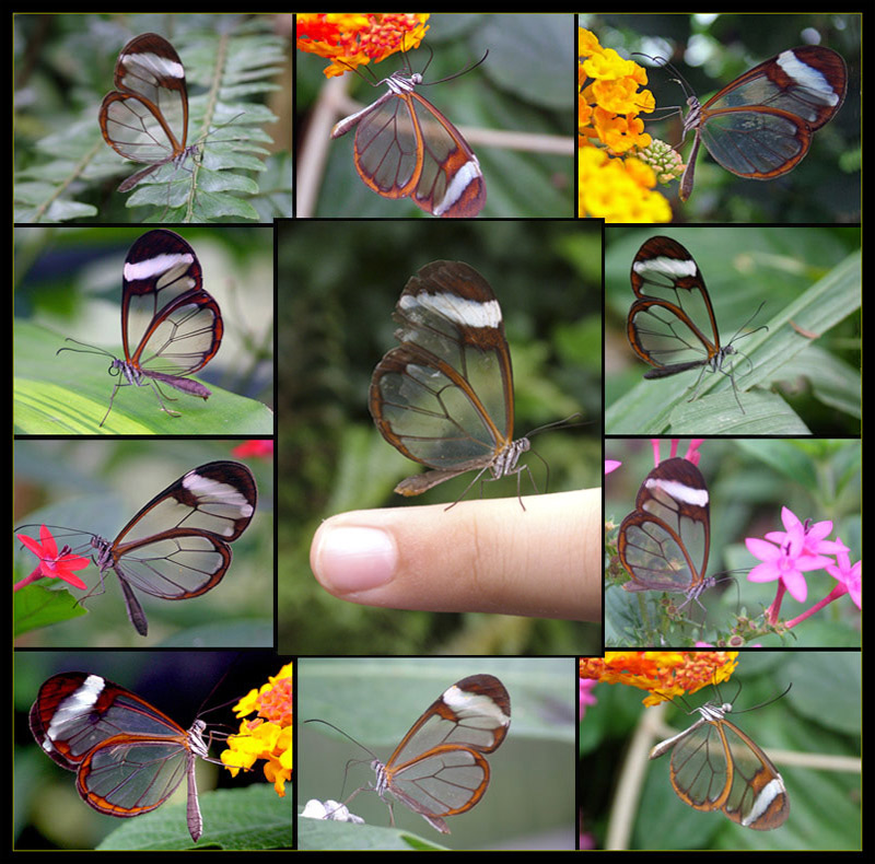 Glass_wingsouth_amercia_butterflies