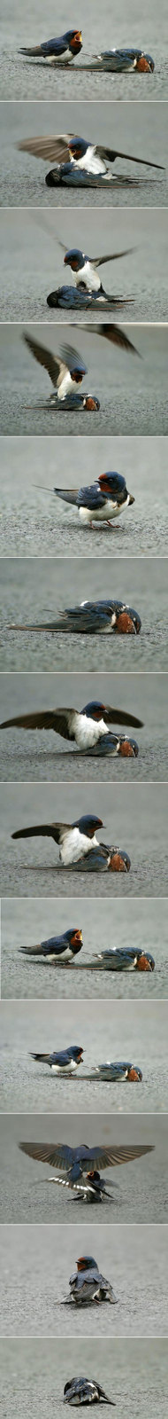 Barn_swallows_by_wilson_hsu